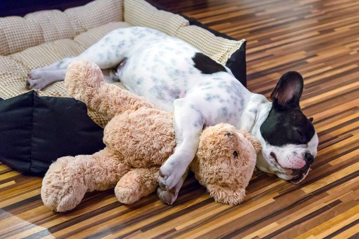 French bulldog puppy sleeping with a teddy bear
