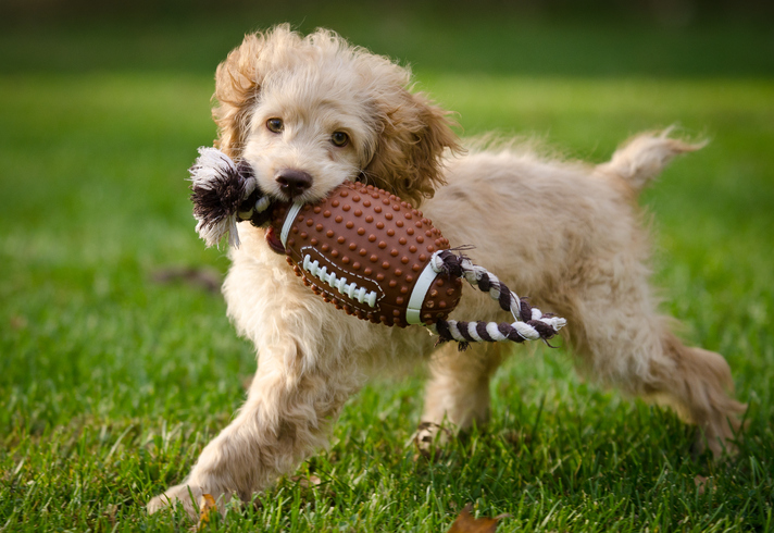 A puppy runs in the grass with a toy in its mouth.