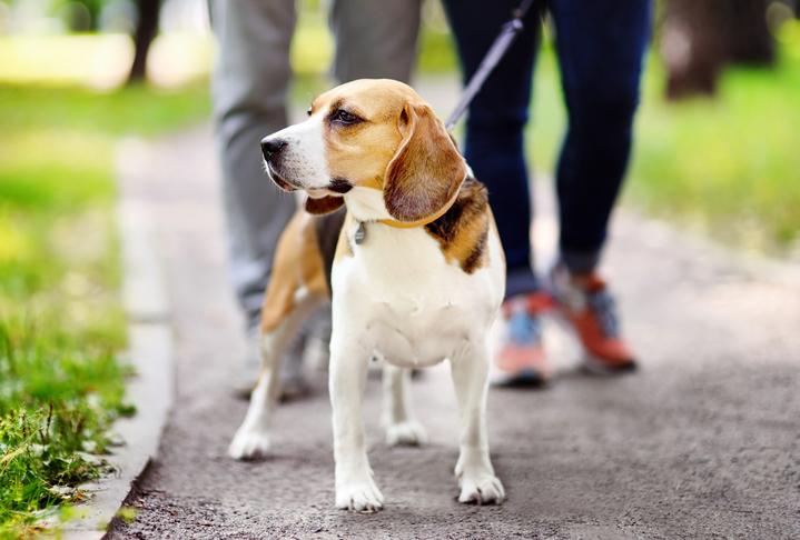 A couple walks a beagle.