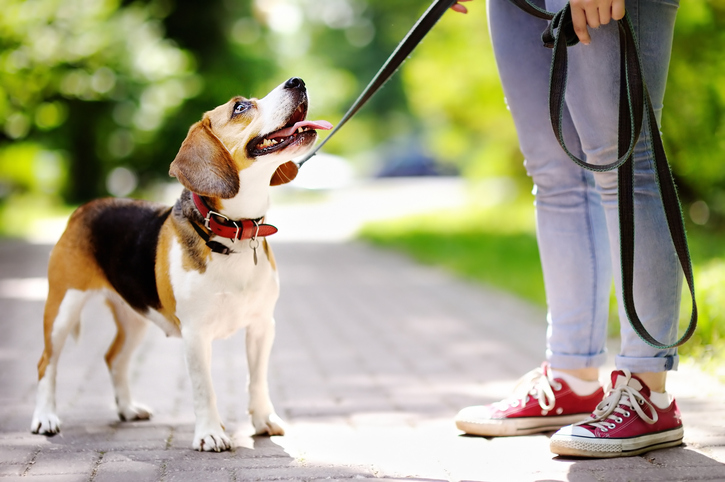 A person walks a beagle on the sidewalk.