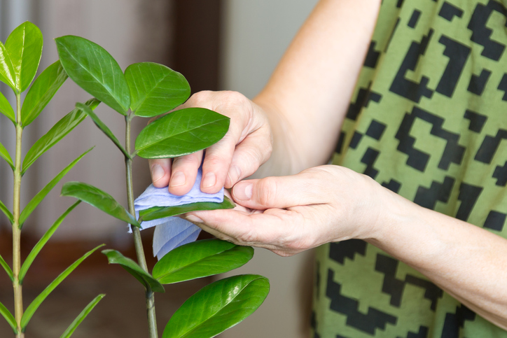 a woman wipes dust from a houseplant