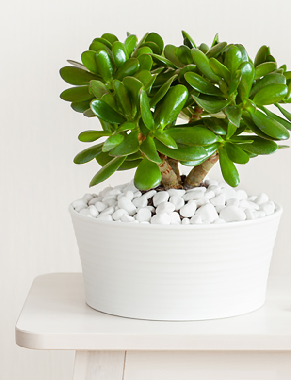 A jade plant is a great houseplant that thrives indoors.