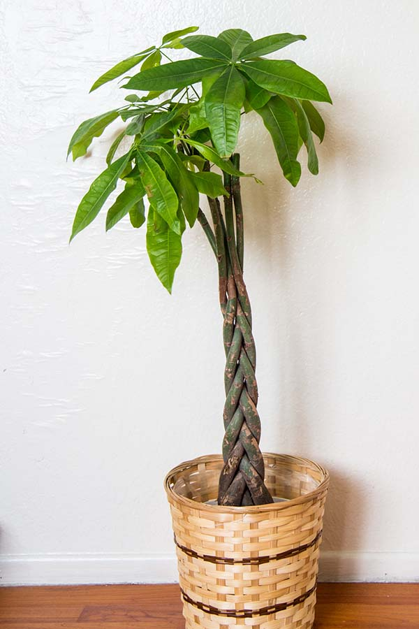 Money Plant is a great houseplant that thrives indoors.