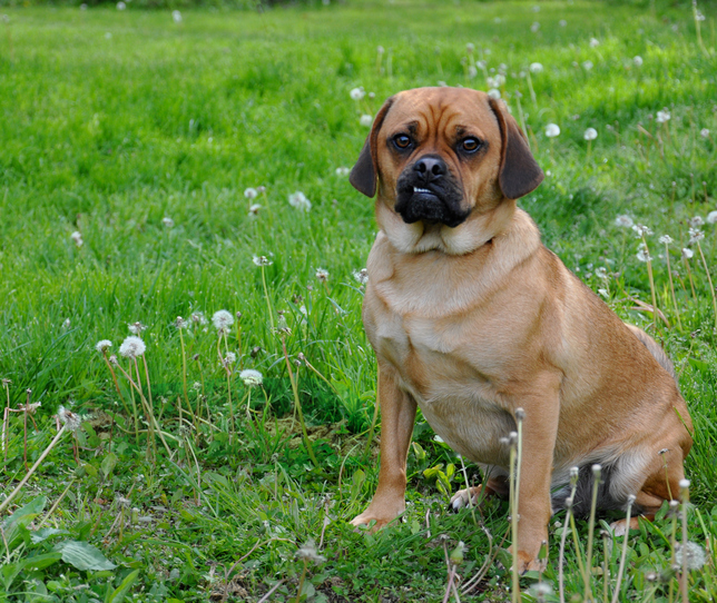 puggle sitting in grass
