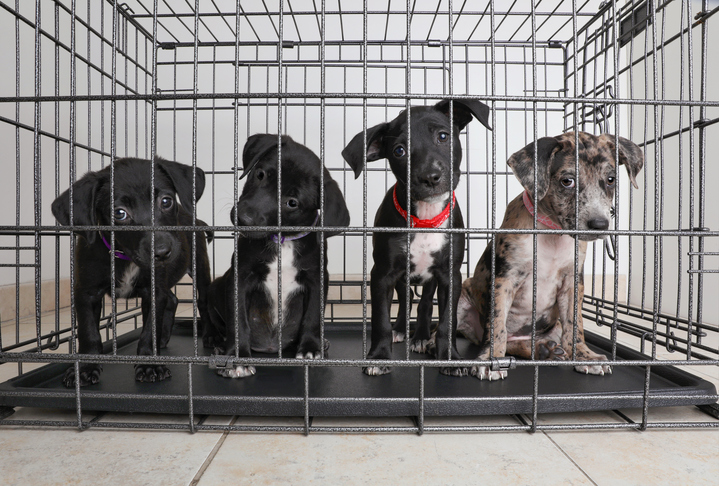 four puppies in a crate