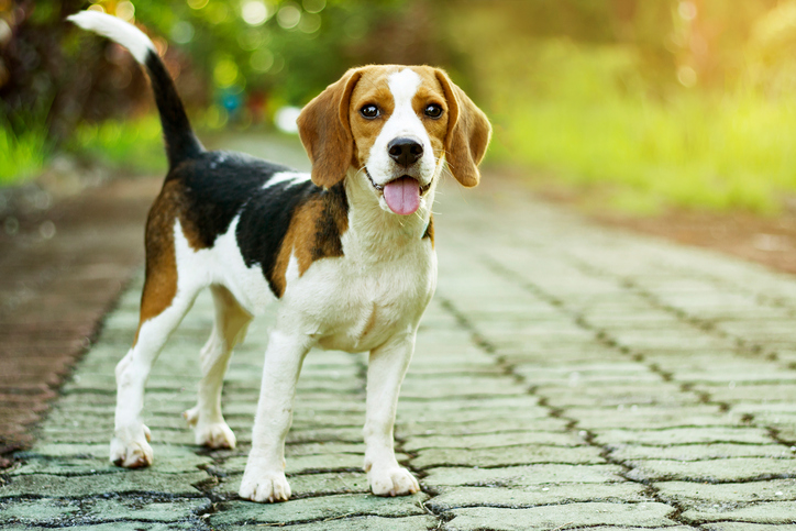 beagle standing on a walkway outside