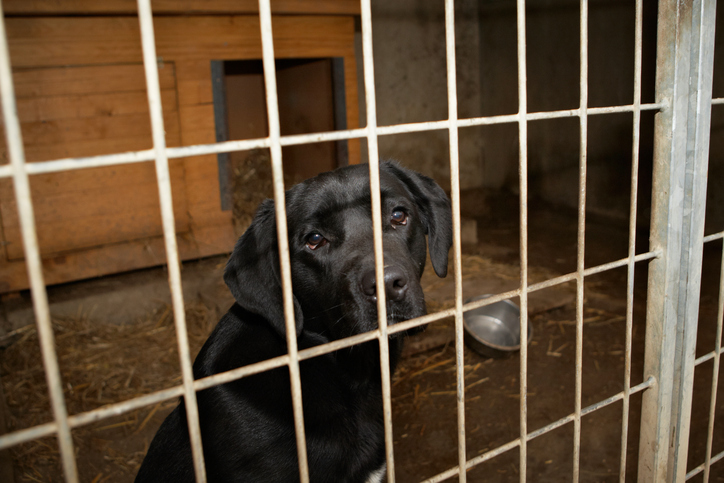 black Labrador in an animal shelter