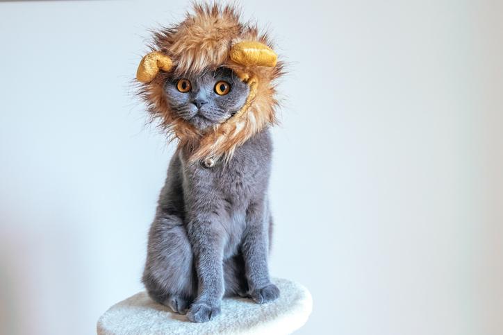 Grey Scottish Fold cat with a lion mane costume