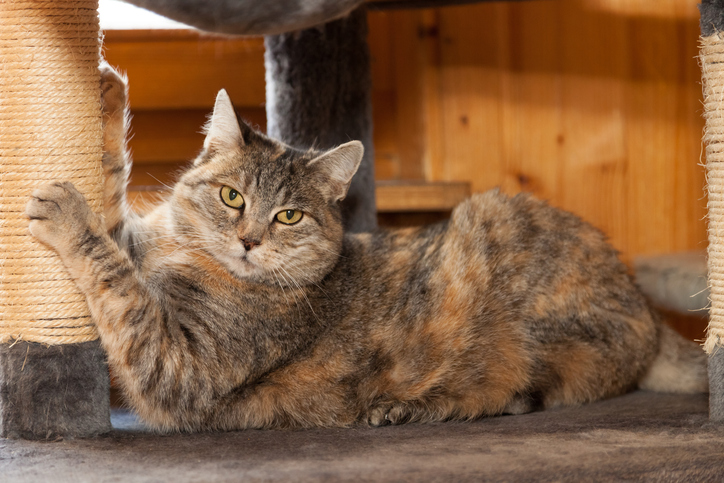 a tabby cat uses a scratching post