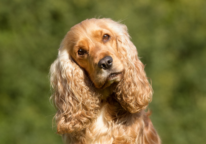 headshot of a cocker spaniel outside