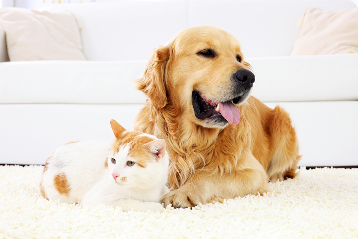 a golden retriever and white and orange cat lie on the floor together