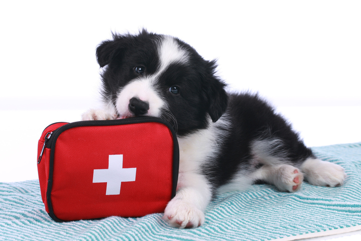 Border collie puppy with a first aid kit