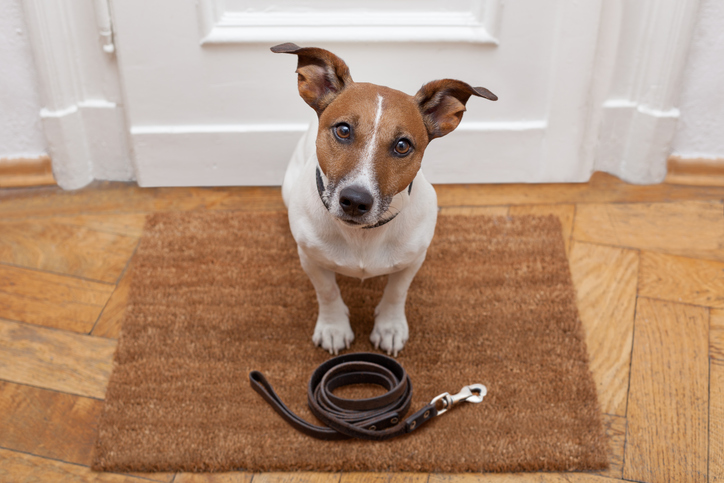 Jack Russell terrier waiting at the door with a leash