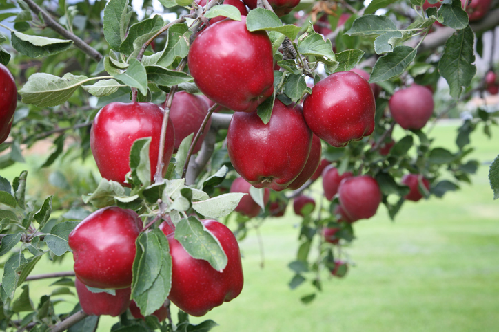 Red Delicious apples on a tree branch