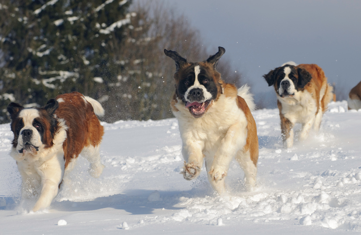 three Saint Bernards running in the snow