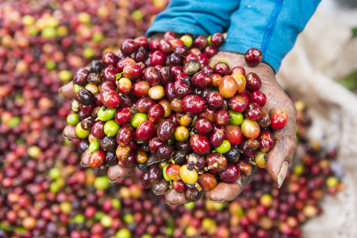 Hands holding fresh coffee crop