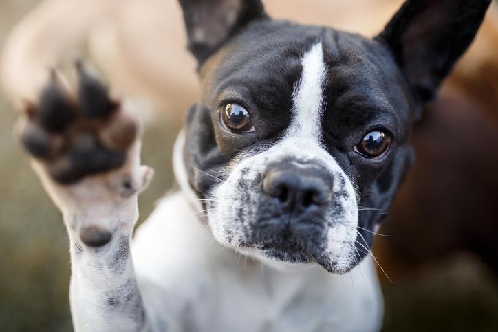 French bulldog holding up its paw