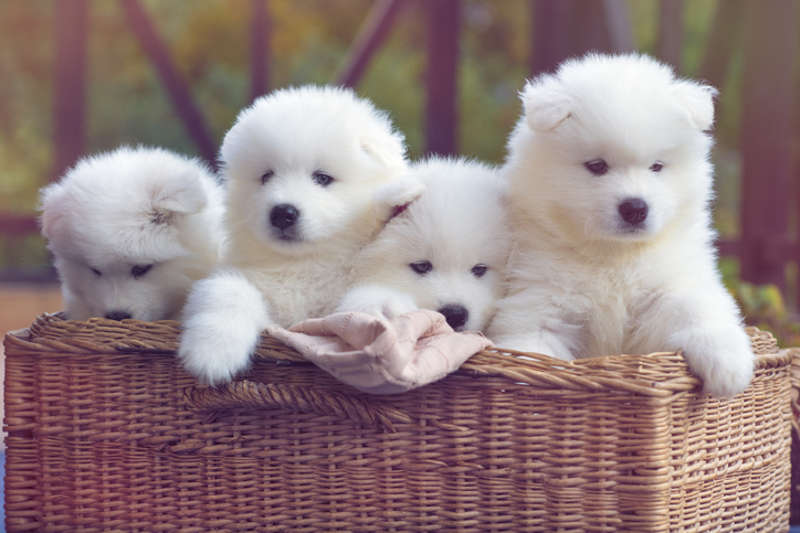 Samoyed puppies in a basket