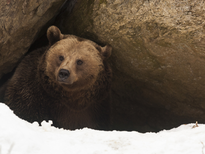 A bear looks out of its den in the snow.