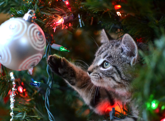 Grey tabby kitten playing with an ornament in a Christmas tree