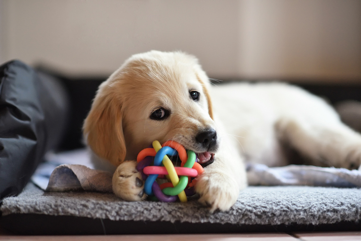 A puppy chews on a toy.