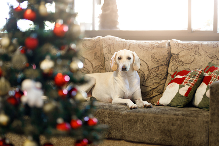 dog on couch with Christmas tree