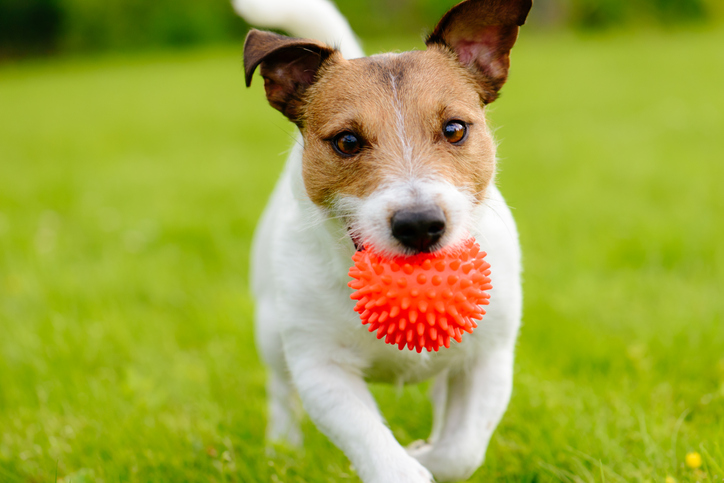 A dog runs with a ball in its mouth.