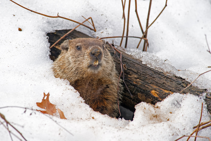 groundhog in snow den