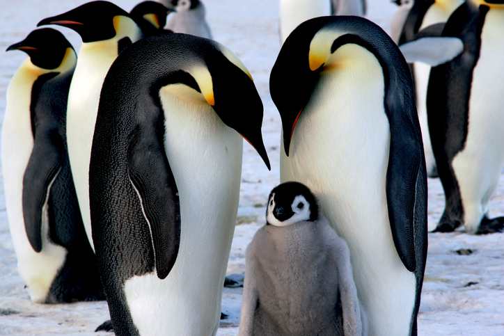 Emperor penguins huddle together with a chick.