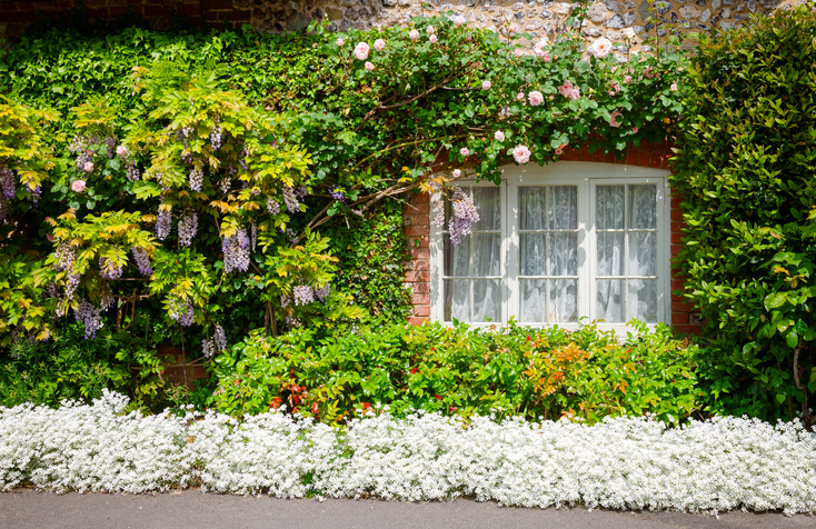 Plants cover the facade of an English cottage.