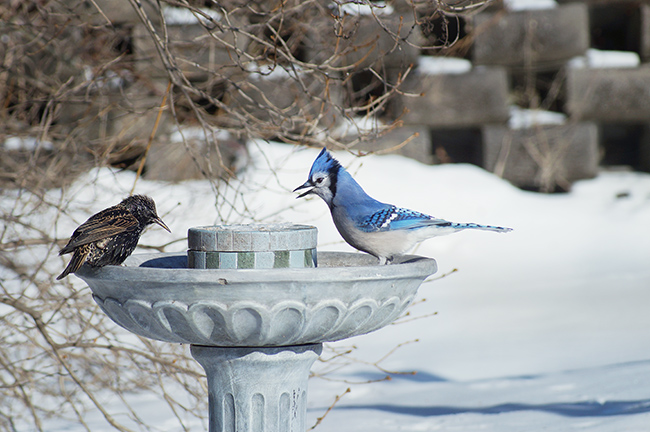 Animal Behavior : Blue jay & common Starling (sturnus vulgaris)