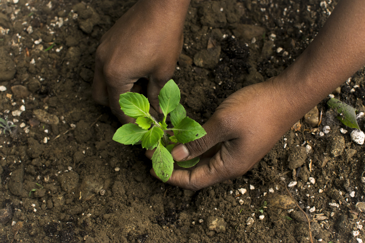 African American Woman in the garden planting Tulsi