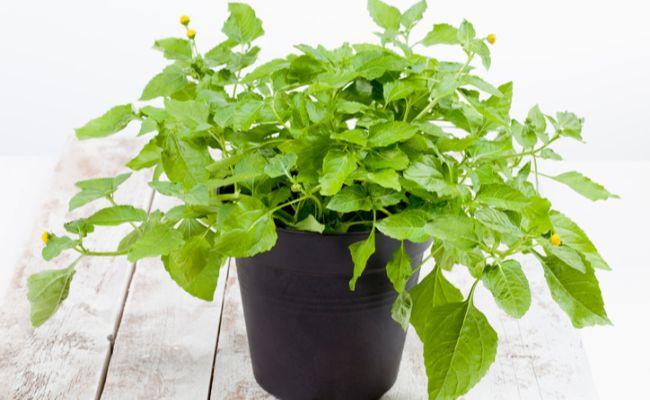 Toothache Plant in Pot
