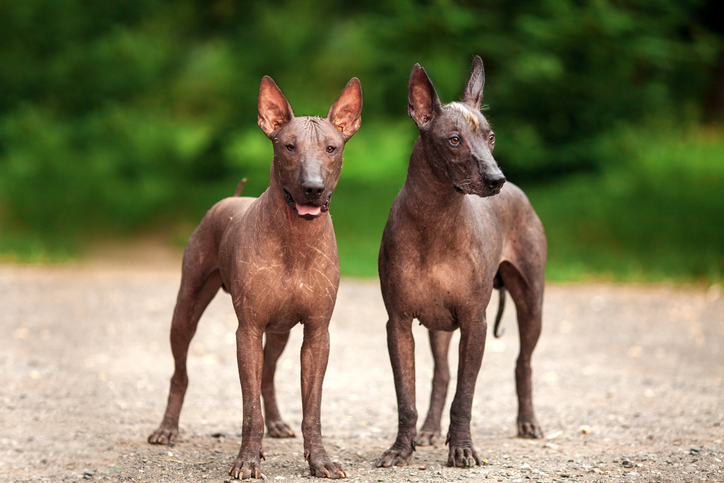 two Xoloitzcuintlis standing together