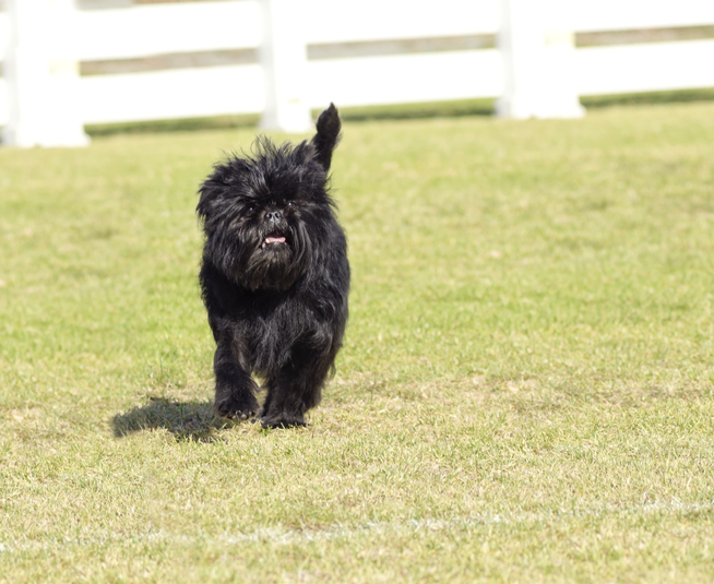 A small young black Affenpinscher dog with a short shaggy wire coat walking on the grass
