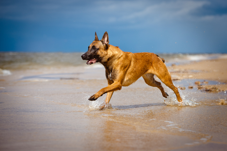 Belgian Malinois running on a beach