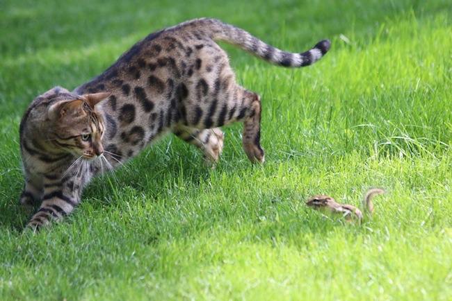 exotic cat breeds