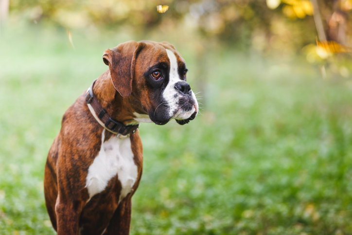 a boxer sitting in grass