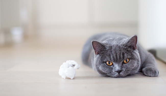 cat lying next to a toy