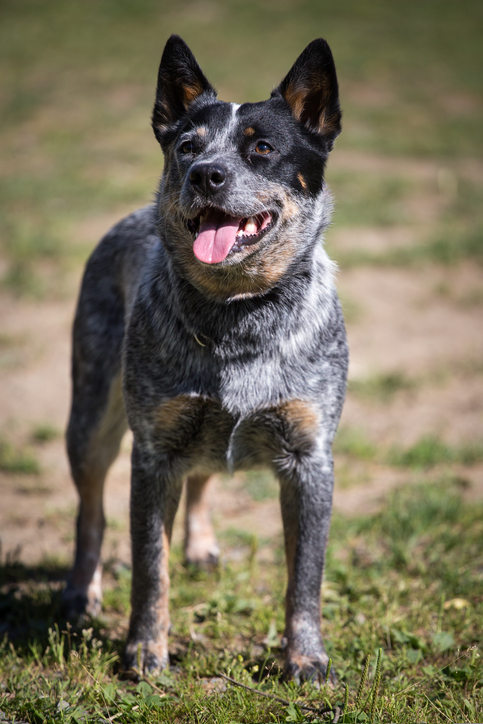 Australian cattle dog standing outside