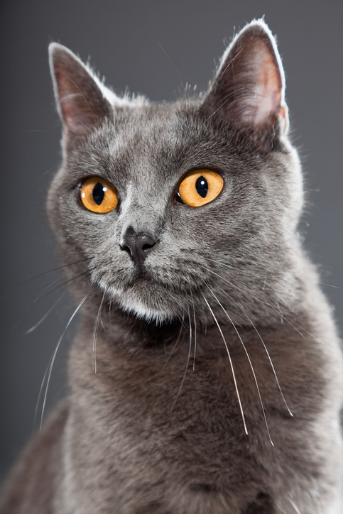 Gray Chartreux cat with gold eyes