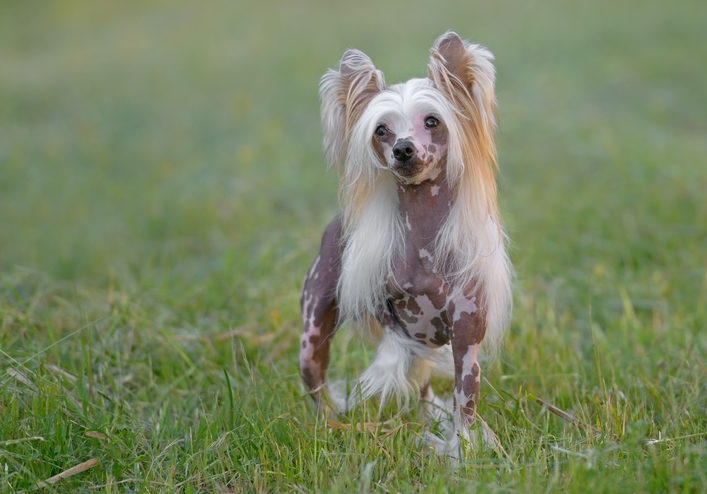 Chinese crested standing on grass