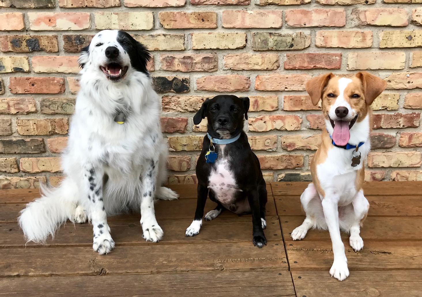 three rescue dogs