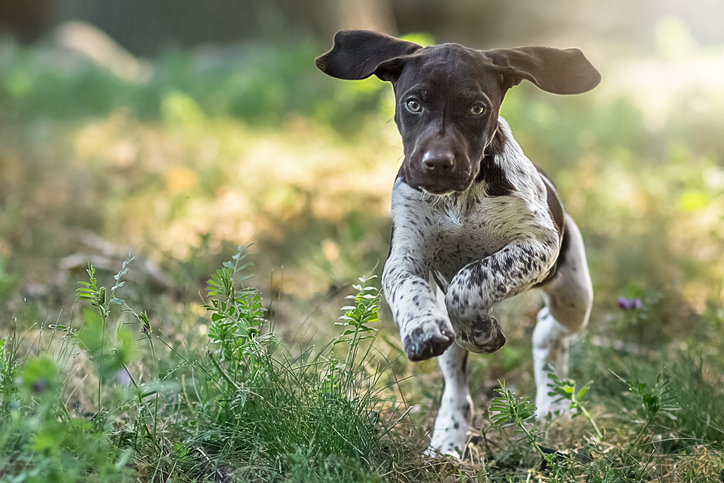 German shorthaired pointer puppy running