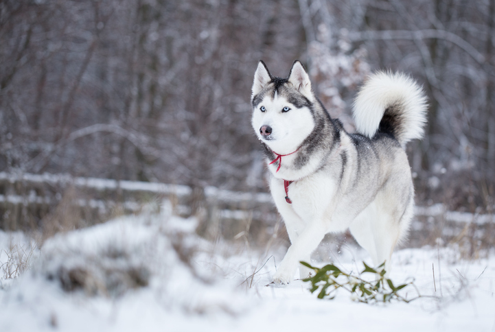 Siberian husky running on snow