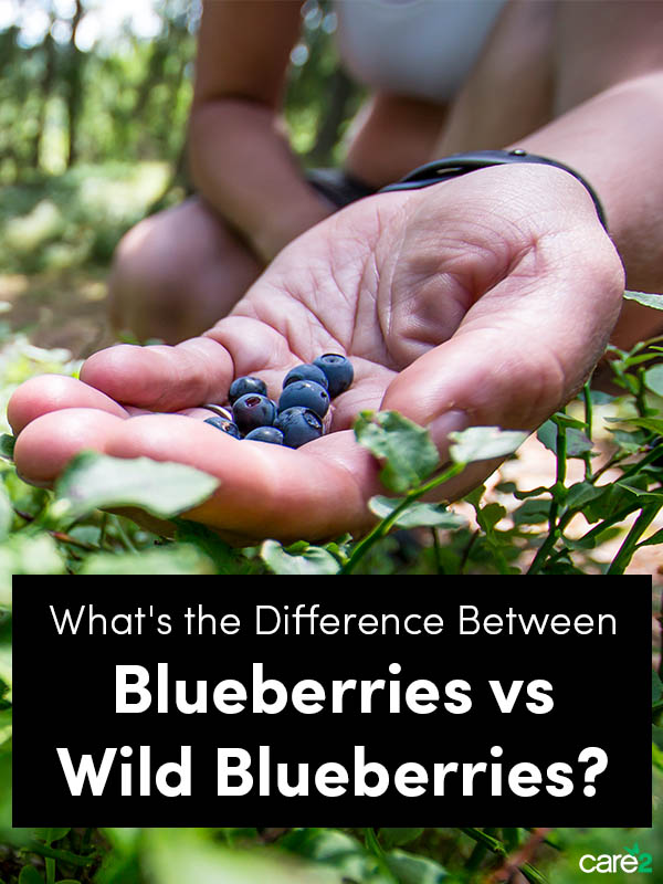 What's the Difference: Blueberries vs Wild Blueberries?