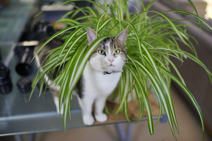 cat hanging out in a spider plant