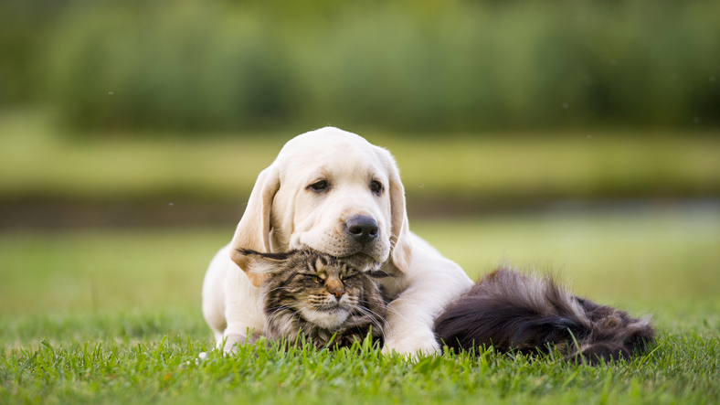 Labrador puppy  and maine coon cat