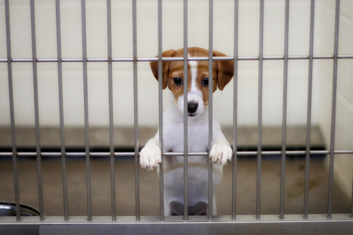 A small puppy puts their paws on the kennel bars in an animal shelter.