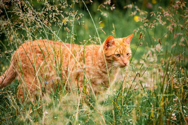 orange cat standing outside in tall grasses
